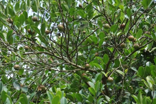 海南热带雨林——百年油茶树王